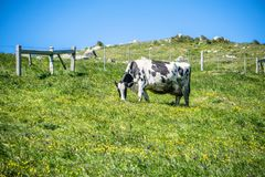 Pascolo soleggiato di illuminazione di mattina con le mucche dell'azienda agricola Immagine Stock