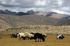 Pascolo tibetano del plateau Fotografia Stock Libera da Diritti