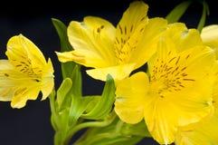Pascua Lilly Fotografía de archivo