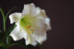 Pascua Lilly Fotos de archivo