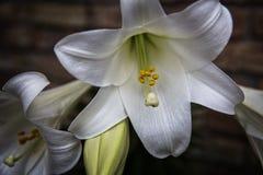 Pascua lilly Foto de archivo