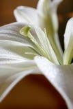Pascua Lily Flower Fotografía de archivo