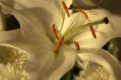 Pascua Lily Stamen Foto de archivo libre de regalías