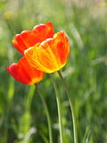 Pascua o foto de papel de tarjetas del tulipán del día de madres Fotos de archivo libres de regalías