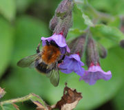 Pascuorum Bombus λουλούδια Στοκ Εικόνες