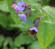 Pascuorum Bombus λουλούδια Στοκ εικόνες με δικαίωμα ελεύθερης χρήσης