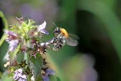 Pascuorum común de Carder Bee Bombus Imágenes de archivo libres de regalías