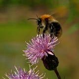 Pascuorum del Bombus del vuelo alrededor de las flores Fotografía de archivo libre de regalías