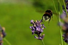 Pascuorum del Bombus del vuelo alrededor de las flores Imagen de archivo