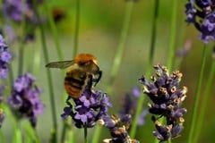 Pascuorum del Bombus del vuelo alrededor de las flores Imagen de archivo libre de regalías