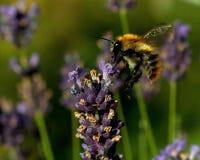 Pascuorum del Bombus del vuelo alrededor de las flores Foto de archivo