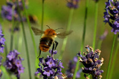 Pascuorum del Bombus del vuelo alrededor de las flores Imágenes de archivo libres de regalías