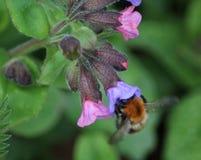 Pascuorum del Bombus en flores Foto de archivo libre de regalías