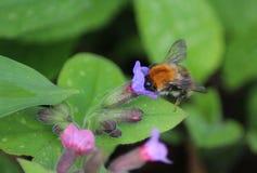 Pascuorum del Bombus en flores Imagenes de archivo