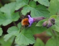 Pascuorum del Bombus en flores Fotografía de archivo libre de regalías