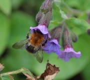 Pascuorum del Bombus en flores Foto de archivo