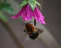 Pascuorum del Bombus en flores Fotos de archivo