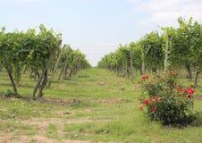 Pase entre las filas de la acción del vino en el viñedo con las rosas Imagenes de archivo