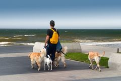 Paseaperros. Man walking dogs on the beach stock photos