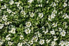 Pasen-Bonnet Witte Alyssum stock fotografie