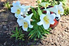 Pasen-Lelies plantten dichtbij Grote Dame Bug stock foto's