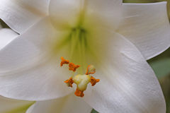 Pasen lilly Royalty-vrije Stock Foto's