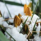 Pasen-Tulpen die door Verse de Lentesneeuw te voorschijn komen stock afbeelding