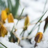 Pasen-Tulpen die door Verse de Lentesneeuw te voorschijn komen royalty-vrije stock foto's