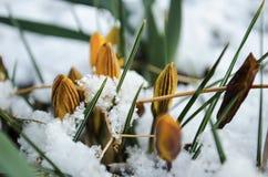 Pasen-Tulpen die door Verse de Lentesneeuw te voorschijn komen stock afbeeldingen