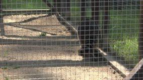 Paseo animal del mapache pobre en jaula del cautiverio almacen de metraje de vídeo