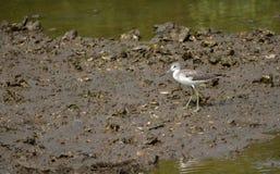 Paseo común de la lavandera del pájaro en el plano de fango, en la ha natural imagen de archivo libre de regalías