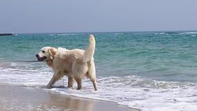 Paseo con un perro en la playa almacen de video