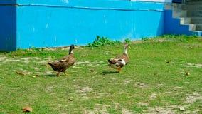 Paseo de dos patos en la hierba Pato silvestre Duck Drake fotos de archivo libres de regalías