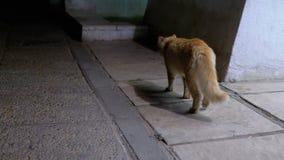 Paseo de gato rojo perdido en una calle en la noche Gato egipcio salvaje sin hogar en una calle de la ciudad metrajes
