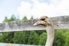 Paseo de la avestruz en la tierra Fotografía de archivo