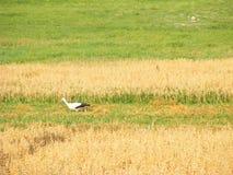 Paseo de la cigüeña en campo del secadero Pájaro y cosecha salvajes en granja Escena rural europea Imagen de archivo libre de regalías