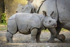 Paseo de la familia de rinoceronte imágenes de archivo libres de regalías