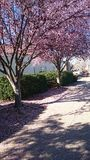Paseo de la flor de cerezo Foto de archivo