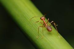 Paseo de la hormiga en las ramitas imágenes de archivo libres de regalías