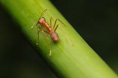 Paseo de la hormiga en las ramitas imagenes de archivo