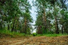 Paseo de la mañana a través del bosque del pino de la primavera Foto de archivo