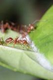 Paseo de las hormigas en la hoja imagen de archivo libre de regalías