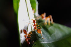 Paseo de las hormigas en la hoja imágenes de archivo libres de regalías