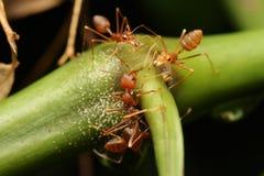 Paseo de las hormigas en las ramitas Fotos de archivo