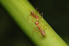 Paseo de las hormigas en las ramitas foto de archivo