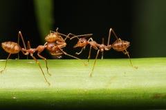 Paseo de las hormigas en las ramitas imagen de archivo