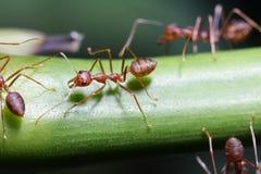 Paseo de las hormigas en las ramitas fotografía de archivo