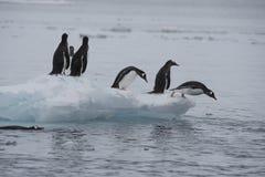 Paseo de los pingüinos de Gentoo en el hielo Imagen de archivo libre de regalías