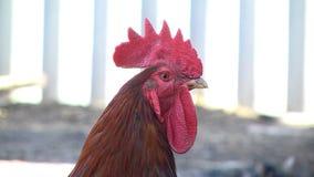 Paseo de los pollos en el patio almacen de metraje de vídeo