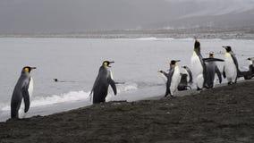 Paseo de rey Penguins en la playa almacen de metraje de vídeo